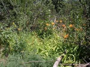 Homestead West Yard, Orange Daylilies, Bushes, Weeds, Hot Looking - August 2009