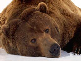 Bear lying quiet