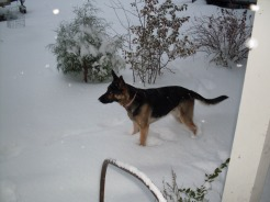 K-10 German Shepherd Alert by Doorstep in Snow at Ovid - October 10, 2009