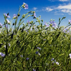 Flaxseed[1]