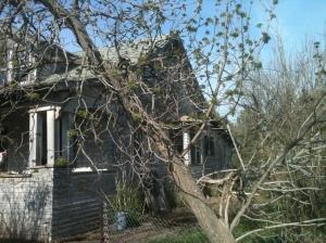 Buckeye Tree Budding