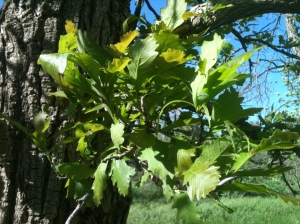 Black locust leaves, May 2013.