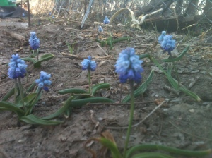 Grape Hyacinth near south sideyad gate