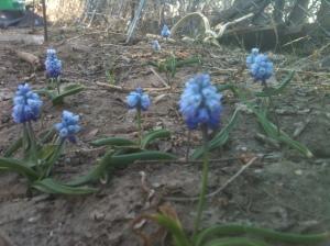 Grape Hyacinth near south sideyad gate