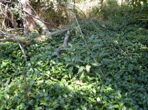 Periwinkle Vine Groundcover, Full Amongst Fallen Branches - August 2009