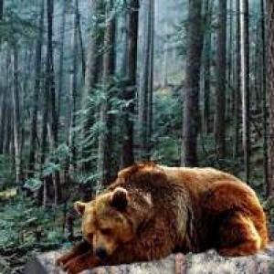 Bear Pine Forest