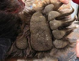 Bear's Paw, claws