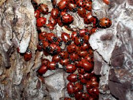 Ladybugs on tree